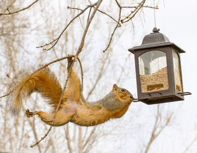 Squirrel at Feeder [Image © blewulis - Fotolia.com]